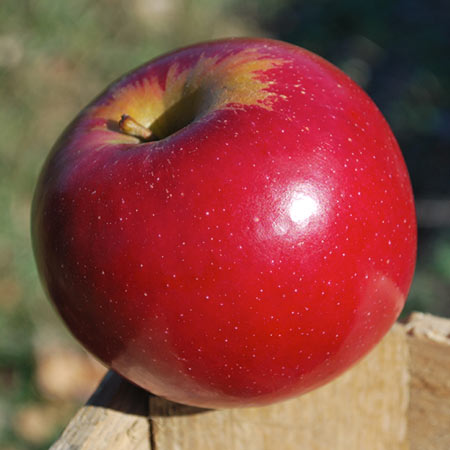 Connel Red Apple Thompsons Hillcrest Orchard