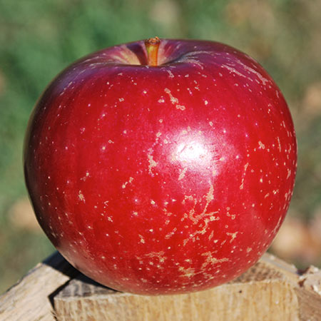 Heralred Apple Thompsons Hillcrest Orchard