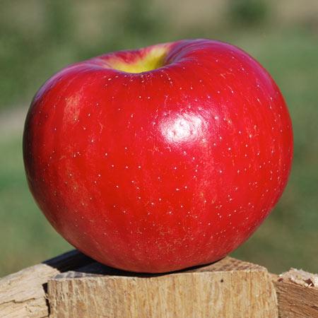 Honeycrisp Apple Thompsons Hillcrest Orchard